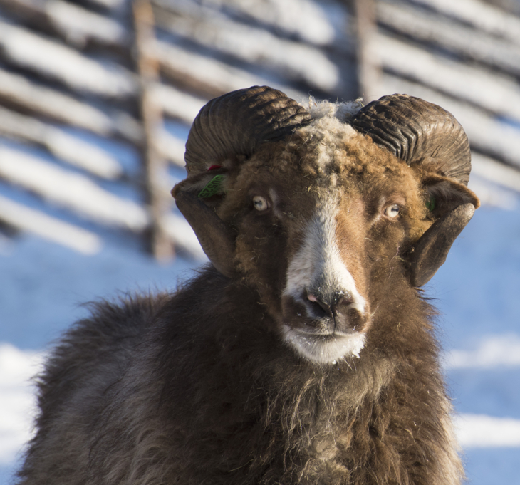 A sheep with horns and thick brown wool outdoors at winter.