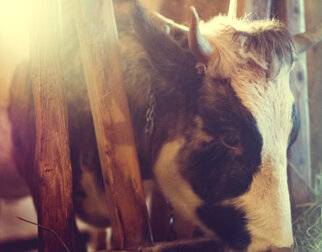 A cow in the barn at Maihaugen.